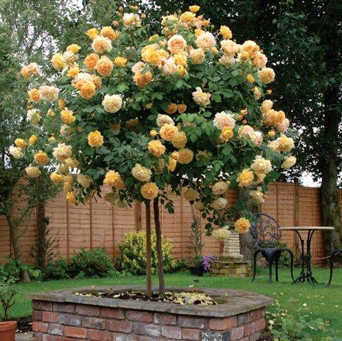 Hướng dẫn 7 cách trồng hoa hồng leo trong chậu đơn giản