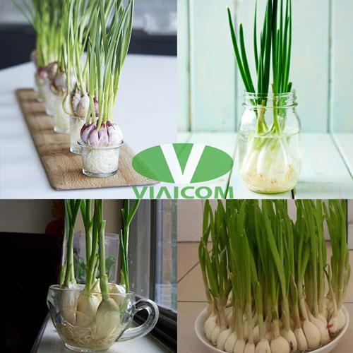Kết quả trồng tỏi trong nước