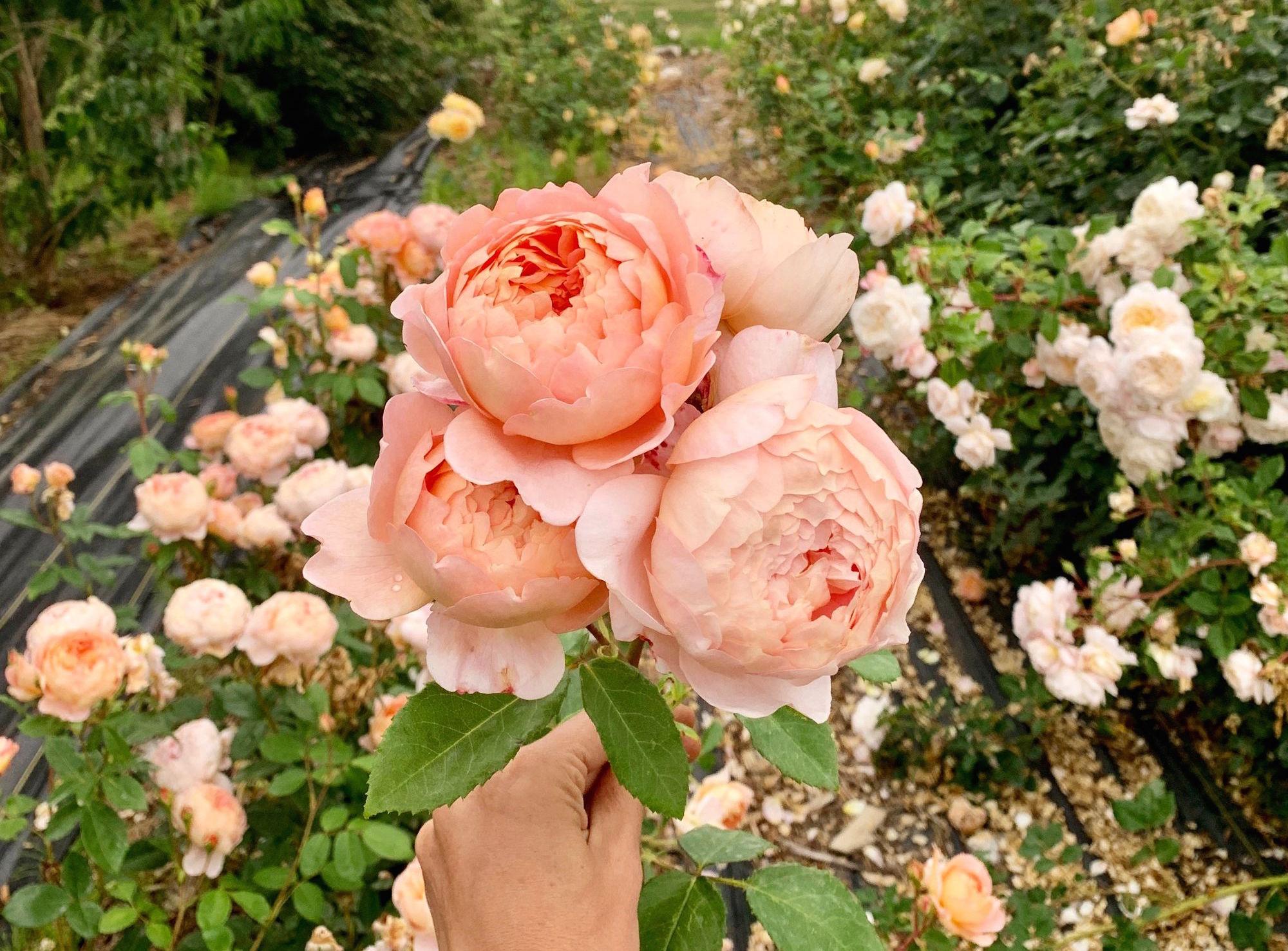 Thực hư hoa hồng có lợi sức khỏe con người